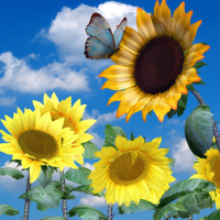 butterflywebgraphics.com sunflowers psp tube package